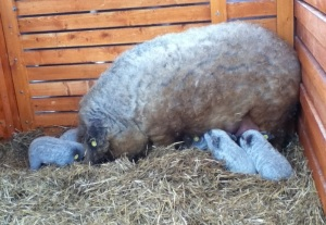 Mangalica sow with piglets